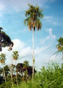 Chunga Palm