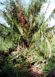 Tagua Plant